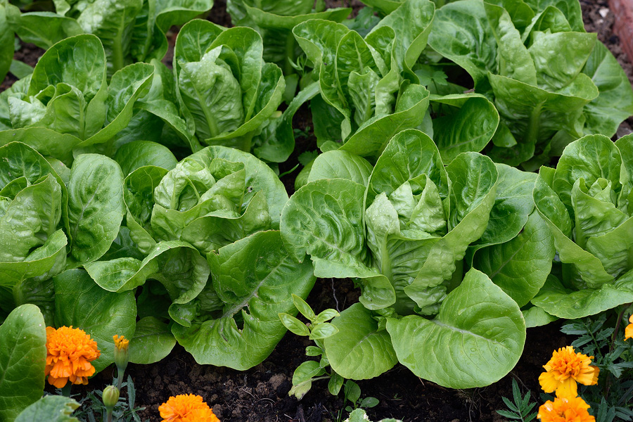 lettuce-grown-from-seed