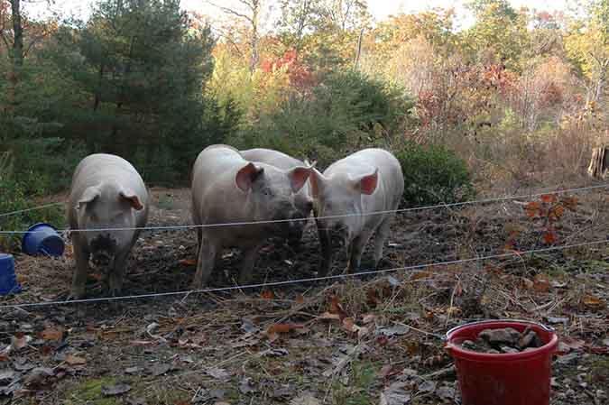 Raising Hogs Article 2