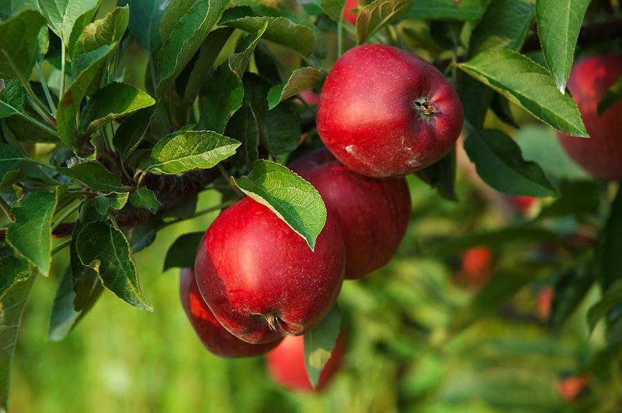 fresh-ripe-apples-on-the-tree