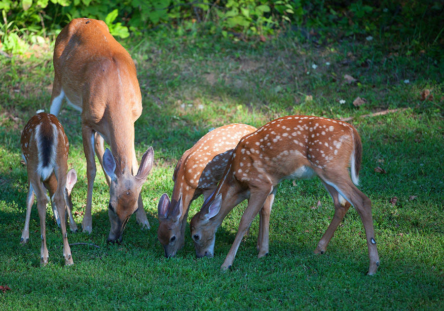 a-family-of-deer-browsing-for-breakfast