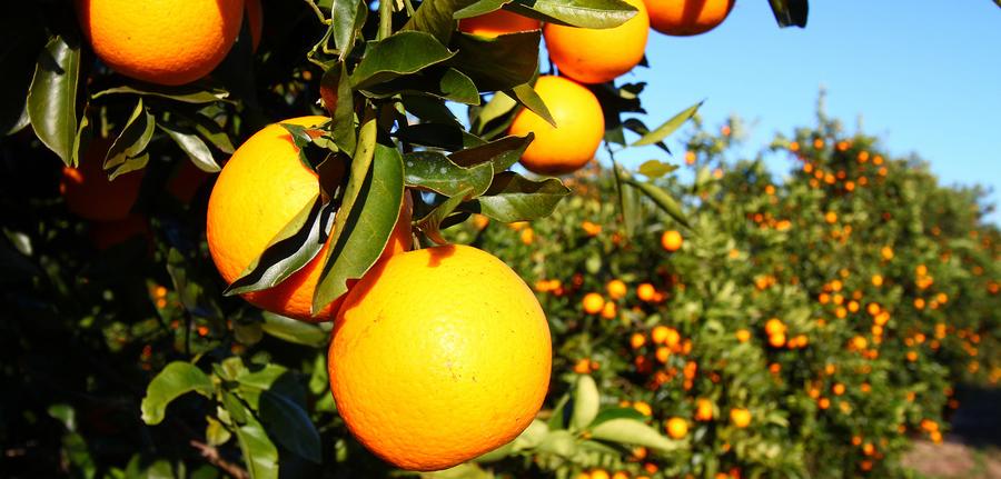 florida-orange-grove