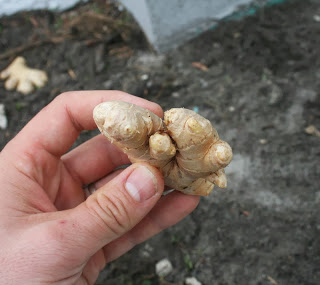 A perfect example of how to grow grocery store ginger