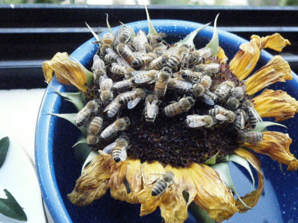 Bees getting water on a sunflower