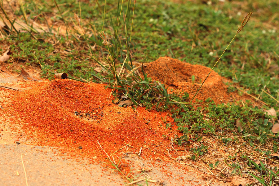 Natural Fire Ant Control
