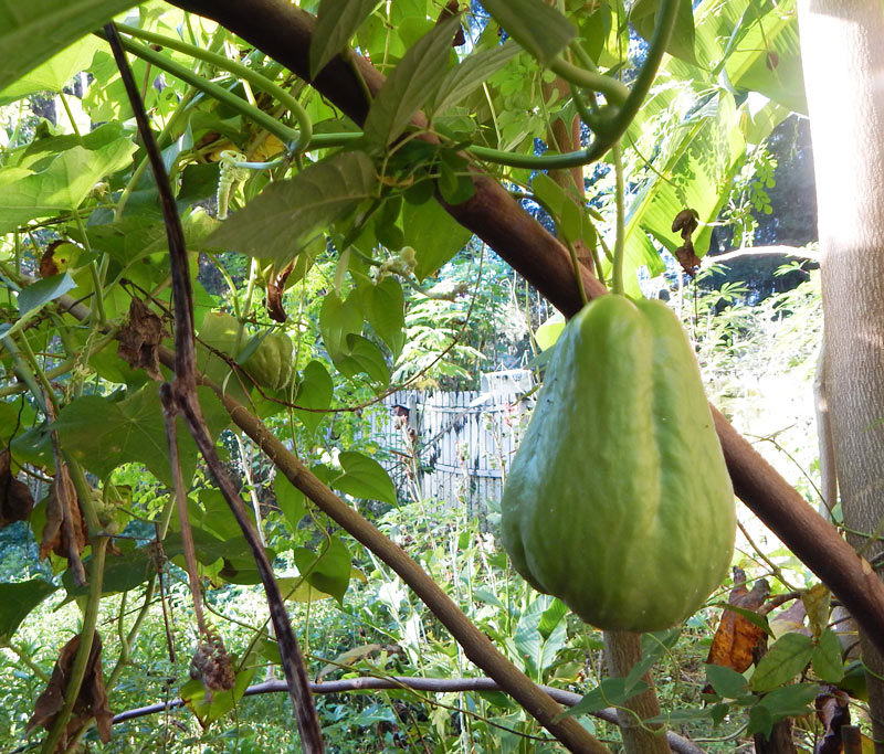 Chayote squash ready for harvest