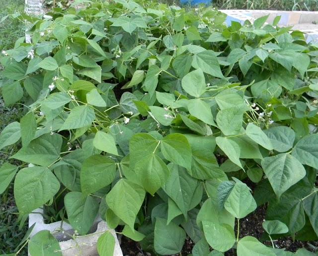 Intensive gardening with bush beans
