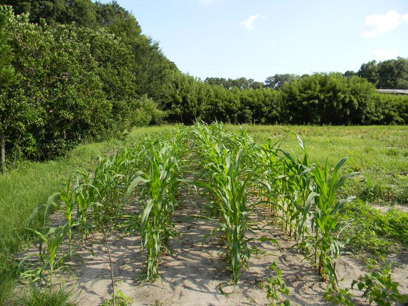 Traditional rows of grain corn