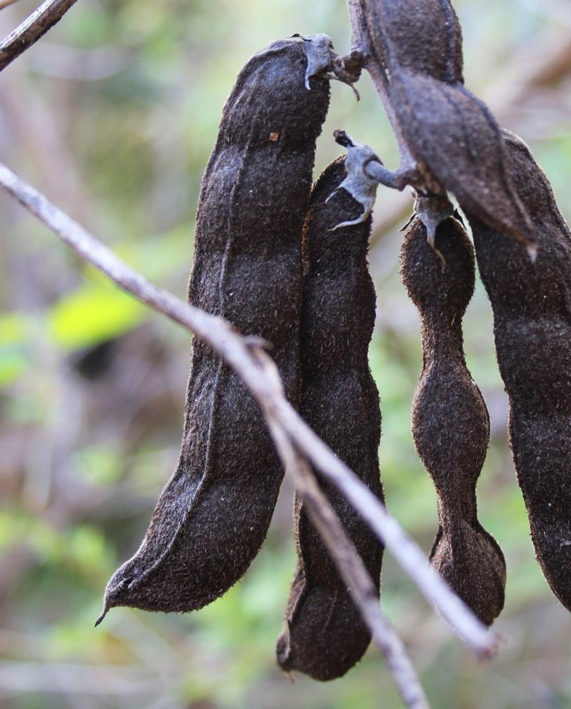 Velvet beans drying on the vine