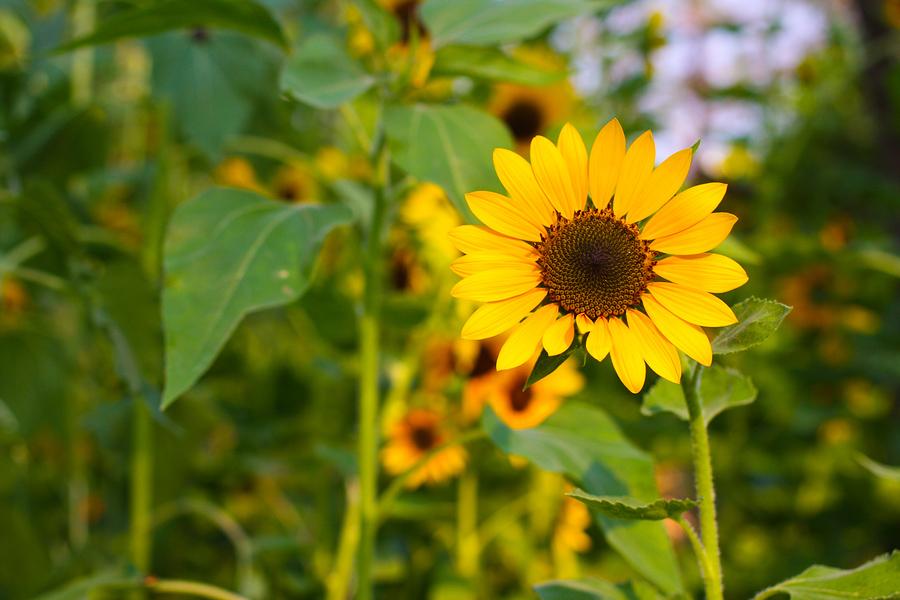 Sunflower drought crop