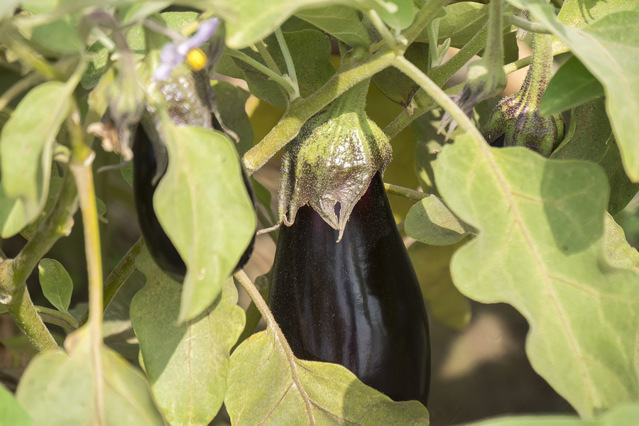 Eggplant for vegetable gardening in drought conditions