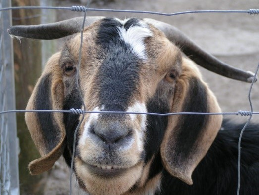 Raising goats in hot climates