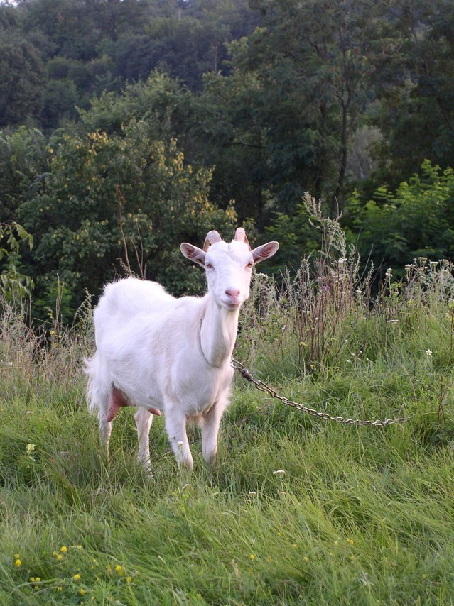 Raising goats on the homestead