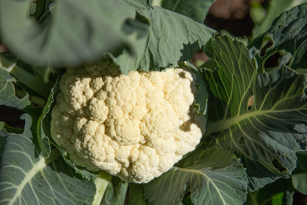 Cauliflower - how to cook cauliflower and other questions answered.
