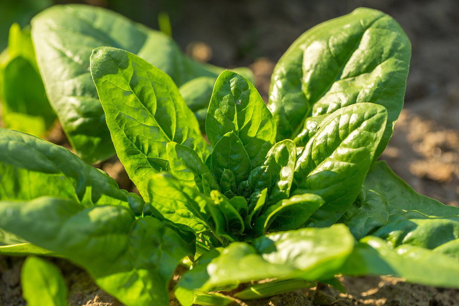 Healthy salad greens - Young spinach plant