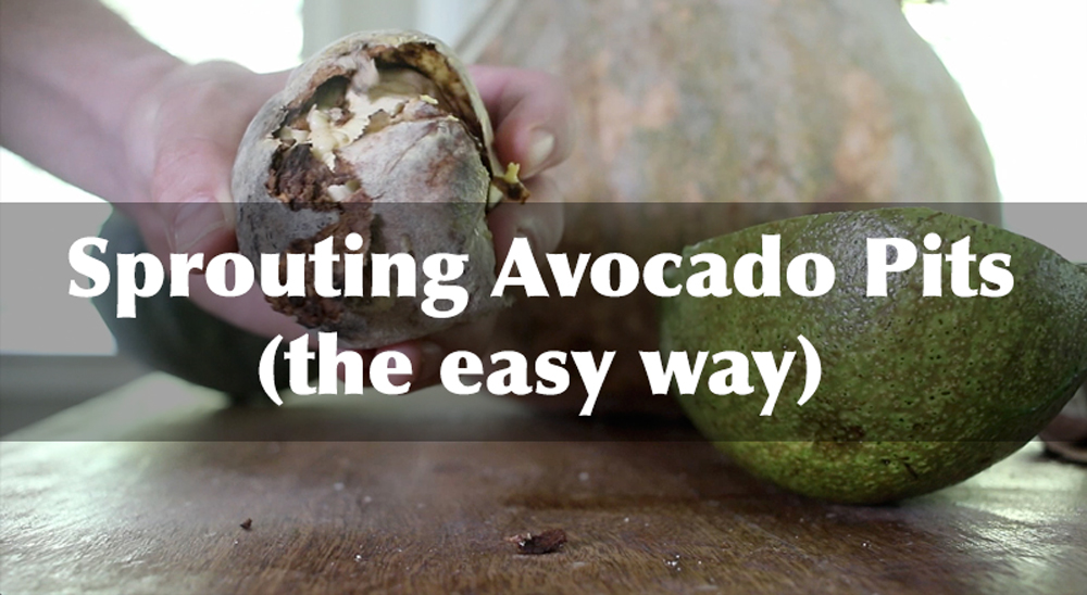 Sprouting avocado pits the easy way the grow network for How do you grow an avocado seed