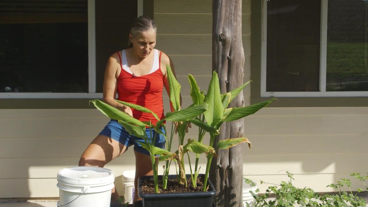 container gardening grow turmeric