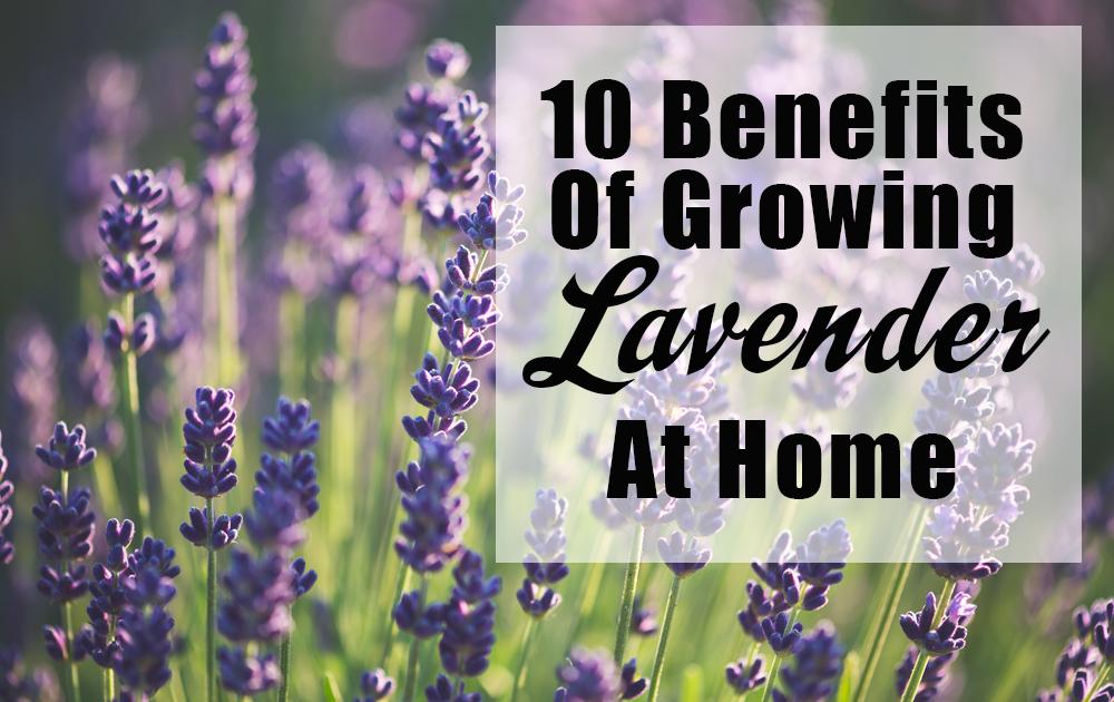 growing-lavender