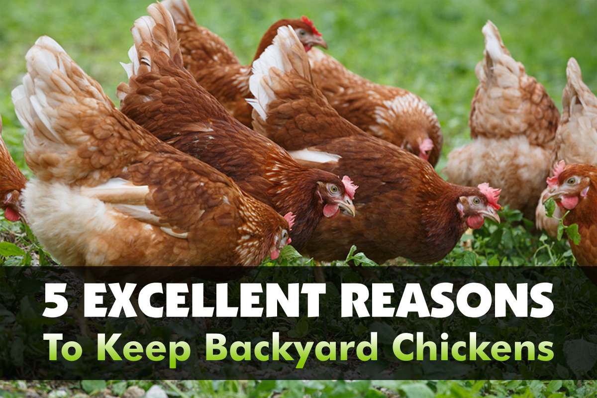 5 Excellent Reasons To Keep Backyard Chickens - The Grow Network ...
