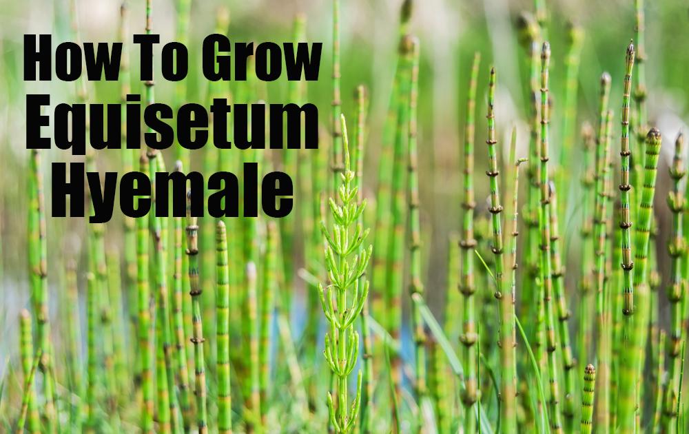 grow-equisetum-hyemale