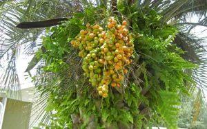 Pindo Palm