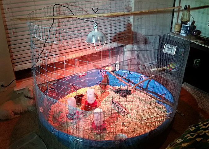 Kiddie Pool Chicken Brooder