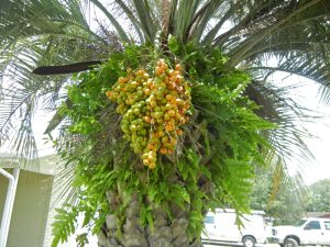 pindo-palm-with-orange-fruit-edible