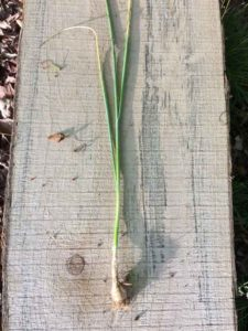 Wildcrafting Foraging Safely - Wild Onion