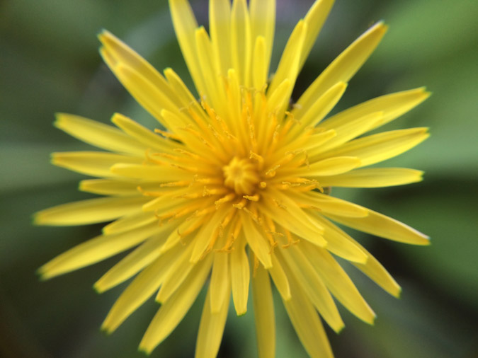 Dandelions - Uses, Eating. Medicine