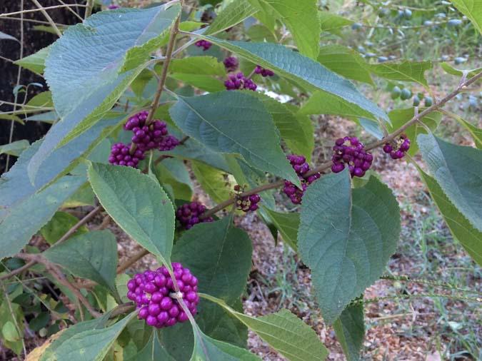 Home Remedies ScottSexton_Beautyberry_1_-Aug2018